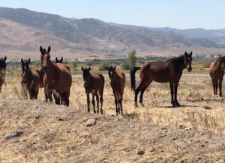 Controlling wild horses in US will take $5b, 15 years